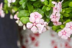 与雨的花在庭院,西部印地安荔枝螺,长春花属roseus,长春蔓花, Bringht眼睛里滴下 免版税图库摄影