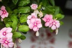 与雨的花在庭院,西部印地安荔枝螺,长春花属roseus,长春蔓花, Bringht眼睛里滴下 免版税库存图片
