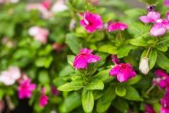 与雨的花在庭院,软的焦点里滴下 西部印地安荔枝螺,长春花属roseus,长春蔓花, Bringht眼睛 免版税库存图片