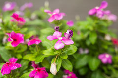 与雨的花在庭院,软的焦点里滴下 西部印地安荔枝螺,长春花属roseus,长春蔓花, Bringht眼睛 免版税库存照片