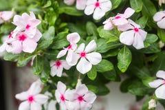 与雨的花在庭院,软的焦点里滴下 西部印地安荔枝螺,长春花属roseus,长春蔓花, Bringht眼睛 库存照片