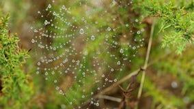 与雨的蜘蛛网在一棘手的野生植物金雀花densus下降 股票录像