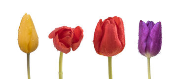 与雨的黄色,红色和紫色郁金香滴下 免版税库存照片