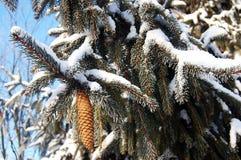 与雪云杉属的云杉的锥体受苦 免版税图库摄影