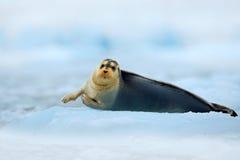 与雪和海洋动物的冬天场面 髯海豹,在冰的说谎的海洋动物在北极斯瓦尔巴特群岛,与海洋的冬天冷的场面, dar 库存图片