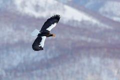 与雪和老鹰的冬天场面 山与鸟的冬天风景 Steller ` s海鹰,飞行的鸷,与在ba的蓝天 免版税图库摄影