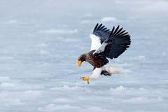 与雪和老鹰的冬天场面 飞行的罕见的老鹰 Steller ` s海鹰, Haliaeetus pelagicus,飞行的鸷,与蓝色sk 库存图片