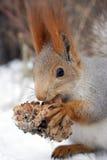 与雪松锥体的灰鼠 免版税库存照片