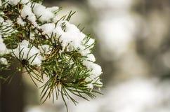 与雪的一个杉木分支 免版税库存照片