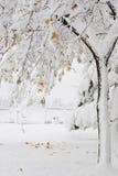 与雪的一棵槭树 免版税库存照片