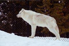 与雪的一头常设狼在放松时间的冬天 免版税图库摄影