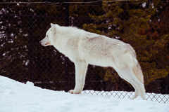 与雪的一头常设狼在放松时间的冬天 库存照片