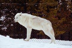 与雪的一头常设狼在放松时间的冬天 免版税库存图片