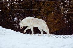 与雪的一头走的狼在放松时间的冬天 库存图片