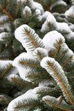 与雪的云杉的分行 库存图片
