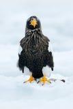 与雪的冬天日本 美丽的Steller& x27; s海鹰, 库存图片