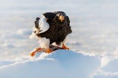 与雪的冬天日本 美丽的Steller ` s海鹰, Haliaeetus pelagicus,与抓住鱼的鸟,与白色雪,北海道, Jap 免版税库存照片