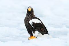 与雪的冬天日本 美丽的Steller ` s海鹰, Haliaeetus pelagicus,飞行的鸷,与蓝色海水,北海道, J 免版税库存图片