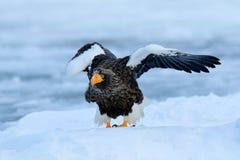 与雪的冬天日本 野生生物行动从自然的行为场面 野生生物日本 Steller ` s海鹰,与抓住鱼的鸟, 库存图片