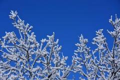 与雪的分行 库存照片