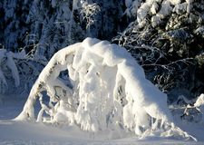 与雪的弯的桦树 库存照片