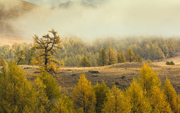 与雪的恶劣天气在森林染黄 免版税库存图片