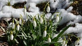 与雪的春天snowdrops 股票视频