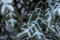 与雪的杉木分支 免版税库存图片