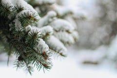 与雪的杉木分支 库存照片