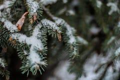 与雪的杉木分支 免版税库存照片