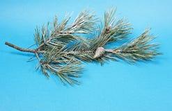 与雪的杉木枝杈 免版税库存图片