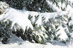 与雪的杉树分支 库存照片