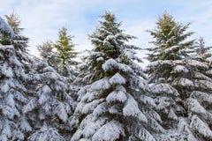 与雪的杉树在Brecon水库 免版税库存照片