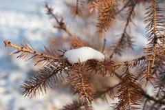 与雪的杉树干燥特写镜头针 免版税库存照片