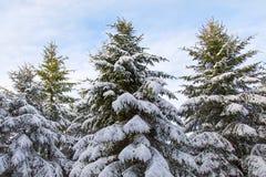 与雪的杉树 图库摄影