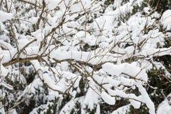 与雪的树枝 免版税库存图片