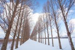 与雪的红木树 免版税图库摄影
