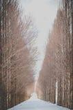 与雪的红木树 免版税库存照片