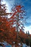 与雪的红色秋天 免版税库存照片