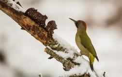 与雪的绿色啄木鸟 免版税库存照片