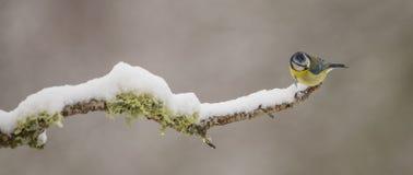 与雪的蓝冠山雀 免版税库存图片
