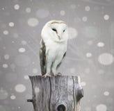 与雪的谷仓猫头鹰 免版税库存图片