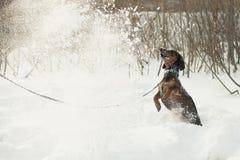 与雪的年轻小达克斯猎犬戏剧 库存图片