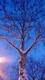 与雪的结构树 免版税图库摄影