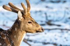 与雪的Sika鹿在狂放的自然的模糊的backgound 库存照片