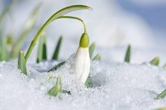 与雪的Snowdrop花在庭院里 免版税库存照片