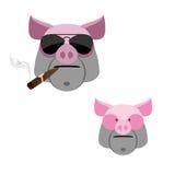 与雪茄的猪 在一白色backgro的可怕和恼怒的公猪的头 库存图片