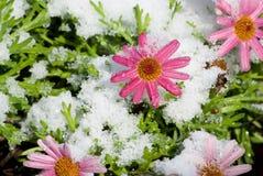 与雪闪耀的涂层的桃红色花  免版税库存图片