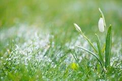 与雪,非常软的微小的焦点的闪耀的snowdrop花,完善 免版税库存照片