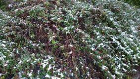 与雪,水平的HD无缝的纹理的冬天莓果 免版税图库摄影